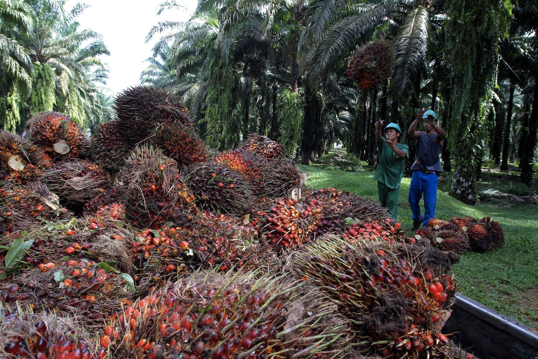 Un raccolto, in Malesia